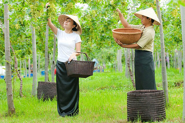 Harvest at Hatten Wines, a top winery in Asia making Asian wines