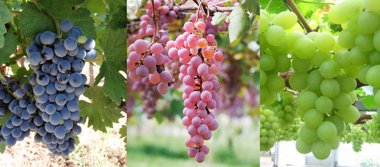 Unique Asian Wine Grape Varietals