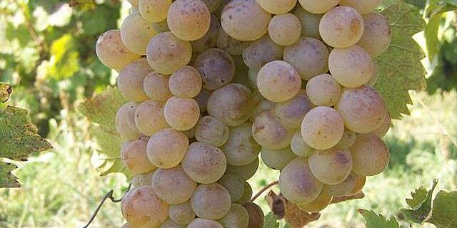 Rkastsiteli popular grape in Georgia